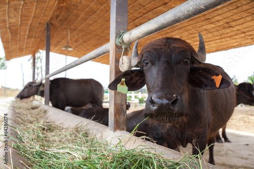 Staande foto Buffel Dairy buffalo in farm
