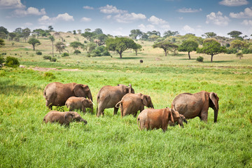 Elephants family on pasture in African savanna . Tanzania.