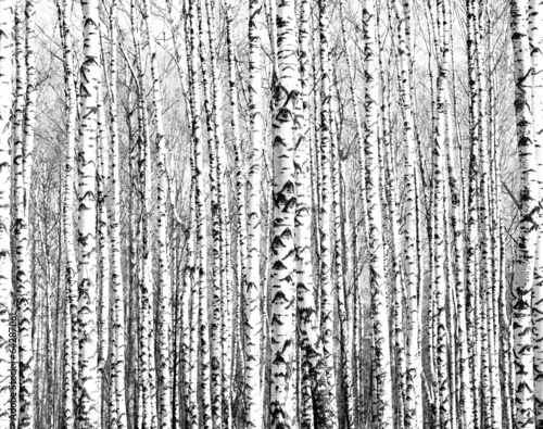 Spring trunks of birch trees black and white canvas