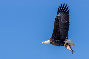 Bald Eagle Carrying Fish