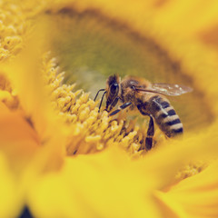 Honeybee foraging for pollen on a sunflower