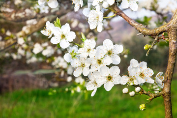 A tree in bloom, spring