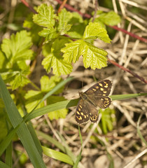 Speckled Wood Butterfly in dappled shade at base of hedgerow.