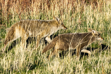 Coyotes on the Hunt