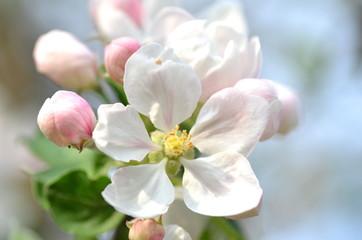 piękne delikatne kwiaty jabłoni