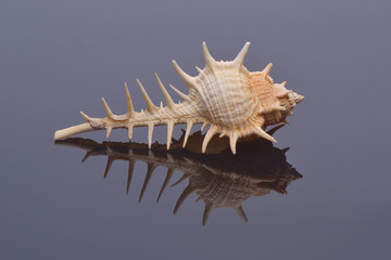 Sea shell, isolated on neutral background