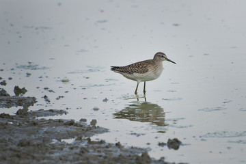 Wood Sandpiper (Tringa glareola) on the lake