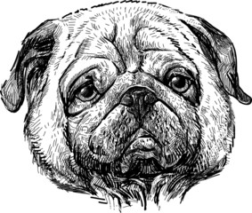 portrait of the pug