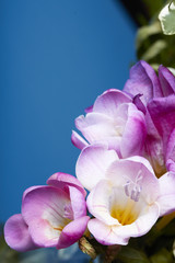 Pink Freesia blossoms