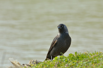 Jackdaw, Corvus monedula, single bird