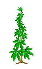 Cannabis or Marijuana Plant on White Background