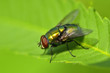 Golden colored fly
