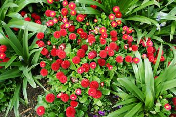 Beautiful red daisies