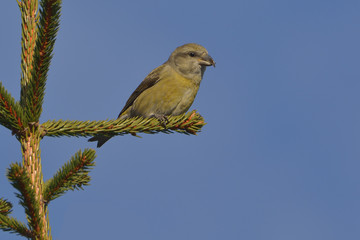 Crossbill in natural habitat - Loxia curvirostra