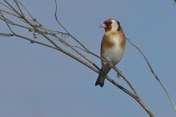 European Goldfinch on the burdock - carduelis carduelis