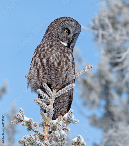 Staande foto Uil Great Grey Owl
