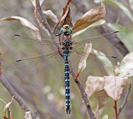 Variable Darner Dragonfly