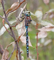 Variable Darner Dragonfly