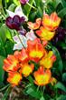 Tulipani tardivi