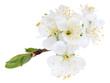 Blooming tree branch with white flowers isolated on white