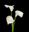 three white Calla lilies isolated on black