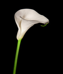 Single calla lily isolated on black