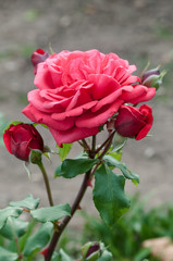 Romantic pink peachy rose flower and buds gardening
