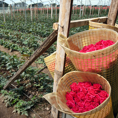 Roses Harvest, plantation in Tumbaco, Cayambe, Ecuador, South Am