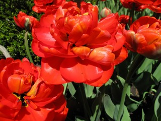 Bunch of red tulips growing in backyard garden
