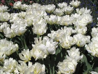 Bunch of white tulips growing in backyard garden