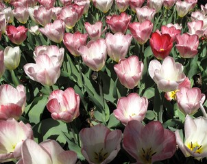 Bunch of pink and white tulips growing in backyard garden