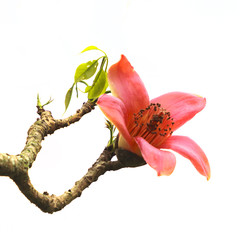 Blossom of the Red Silk Cotton Tree