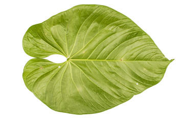 jungle leaf white background