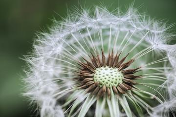 dandelion closeup © chungking