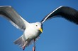 Seagull Flys