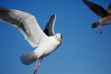 A Seagull Flys