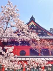 鮮やかな桜