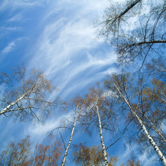 silver birches in spring