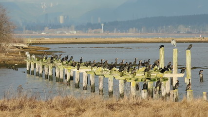 Herons and Cormorants, Boundary Bay, BC