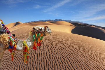 The magnificent Arabian camel