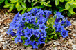 canvas print picture - Trumpet gentiana blue spring flower in garden