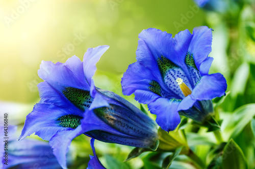 canvas print picture Trumpet gentiana blue spring flower in garden