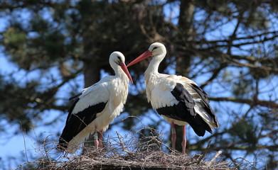 couple de cigognes sur leur nid