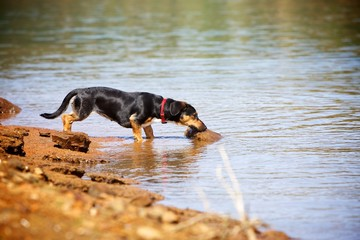 Little Cute Dog Drinking From Lake
