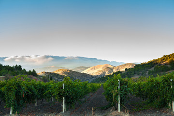 vineyard at the foot of the mountain