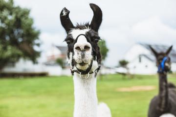 Lama in farm