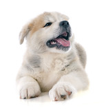 puppy akita inu - 64309682