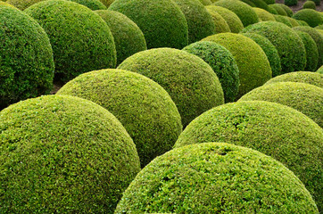 Boxwood  - Green garden balls in France,