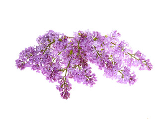 Beautiful Lilac branch on a white background ,close-up