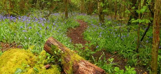 Forest floor - Bluebells